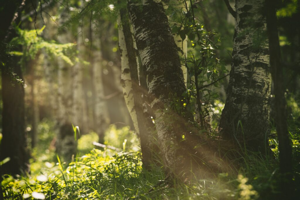 Golden sunlight in a birch forest.
